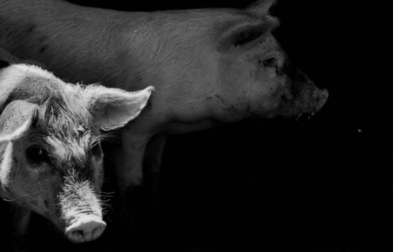 Babi yang Menderita