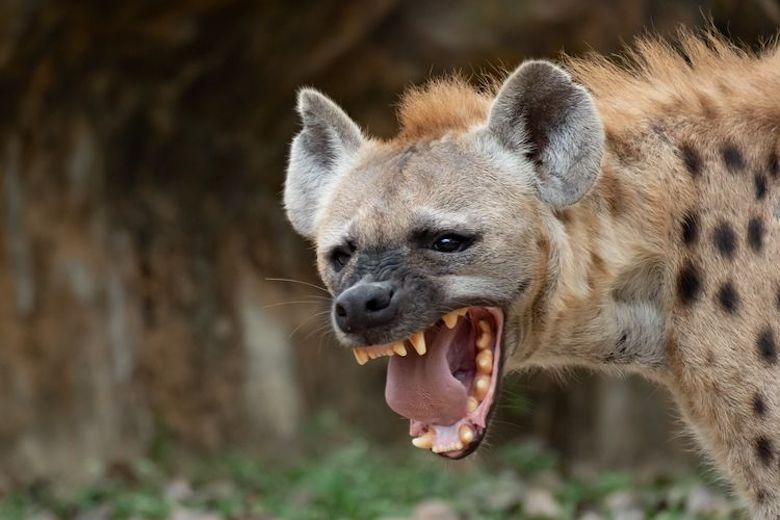 Hyena Politics