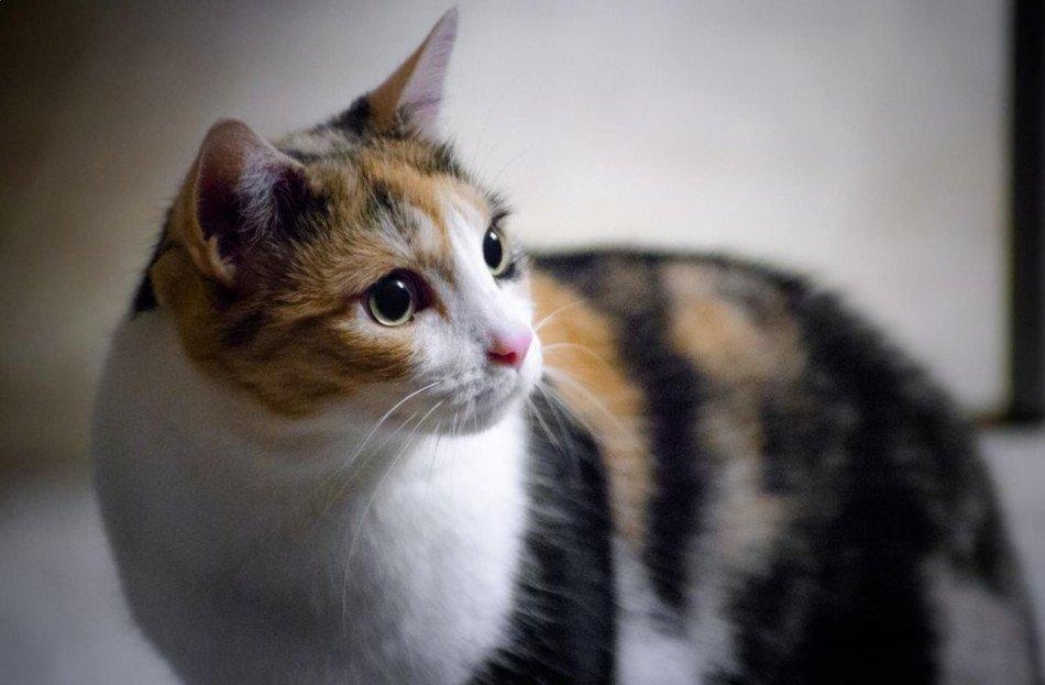 Misteri atau Mitos Kucing Kembang Telon, Bukan Kembang Kelon